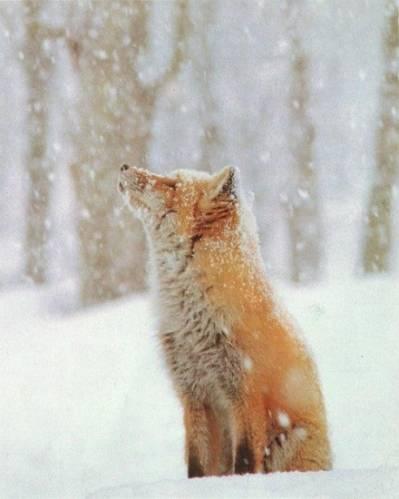 Главная фотоальбом животные лиса